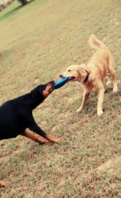 Playful Doberman and Golden! My baby puppies!