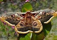 beautiful moths - Bing Images