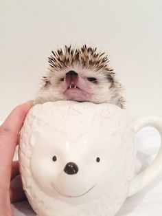 I really need to start posing my quillbabies in cups. This is just too cute & Hedgehog care: How to bathe your hedgehog - YouTube | Hedgehogs ... Aboutintivar.Com