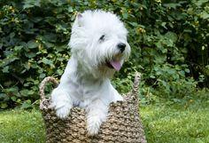 Westie in a basket!!!
