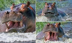 Terrifying moment couple are charged by angry hippo