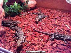 Leeroys lizard