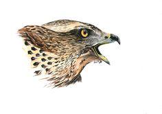 Accipiter gentilis (jestrab lesni) by Adisida on DeviantArt My Drawings, Deviantart, Artist, Amen, Artists