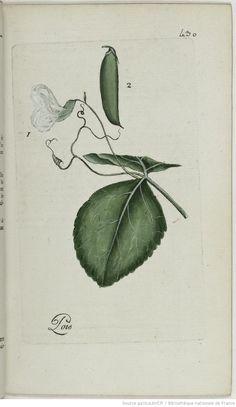 PISUM - Pisum sativum. Le pois / Le pois commun