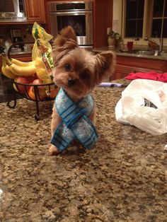 yorkie in a scarf