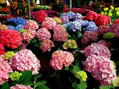 Madonna might not like them, but I think hydrangeas are to die for!