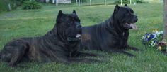 Italian Mastiff | Cane Corso Italian Mastiff | Kane Korso, Cane Corso Italian Mastiff, Mans Best Friend, Lions, Dog Breeds, Puppies, Pets, Pet Stuff, Animals
