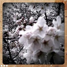 Cherry Trees in the UW Quad