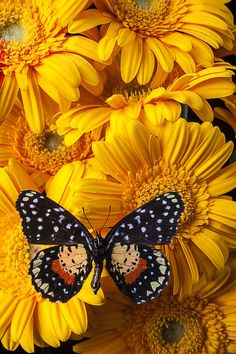 Spotted Butterfly On Yellow Mums Photograph