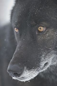 Black Wolf-48 by Dan Newcomb Photography https://www.flickr.com/photos/9453805@N07/
