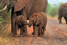 ELEPHANT FACT OF THE DAY: Elephants hug each other by wrapping their trunks together as a greeting or signs of affection.