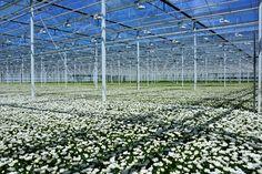 Greenhouse Family Business, Chrysanthemum, Nursery, Fresh, Baby Room, Child Room, Babies Rooms, Kidsroom, Chrysanthemum Morifolium