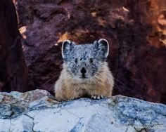 """American Pika - I am not usually that focused on getting """"lifetime"""" shots, but I was invited to participate in as best a photographic experience as I could muster under low, evening light, by this loud American Pika. The cropping and High ISO has produced noise, but, it is a small price to pay for an excellent memory, at one of my most favorite trails, the Nunatak Nature Trail at Inyo National Forest."""