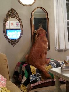 He has been staring at himself like this for 30 minutes...... #goldenretrievers