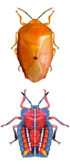 Tessarotoma papillosa, adult and nymph stage