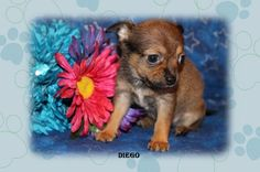 "Fairytailpuppies ""where pets are family too - DIEGO"