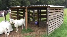 Our Goat Shelter Using Free Pallets # animal shelter design floor plans Our Goat Shelter Using Free Pallets Sheep Shelter, Goat Shelter, Horse Shelter, Shelter Puppies, Pallet Barn, Diy Pallet, Pallet Projects, Pallet Ideas, Barn Wood