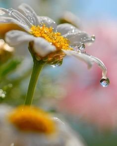 daisy in the morning dew - marguerite dans la rosée du matin Dew Drops, Rain Drops, Types Of Photography, Macro Photography, Photography Flowers, Levitation Photography, Stunning Photography, Winter Photography, Foto Macro