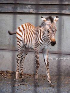 しろっぷ ฎ @syrup_penguin  4月4日 #羽村市動物園 #羽村動物園 #グラントシマウマ  3/28生まれ、生後6日目のシマウマっ子! 元気一杯飛び跳ねてて可愛かった〜♪