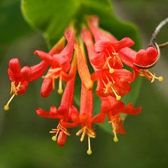 ORANGE HONEYSUCKLE LONICERA CILIOSA ON TRELLIS | Recent Photos The Commons Getty Collection Galleries World Map App ...