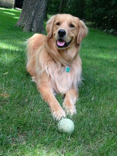 """""""Throw it one more time please please please! Golden Retrievers, Perros Golden Retriever, Chien Golden Retriever, Cute Puppies, Cute Dogs, Dogs And Puppies, Doggies, Dog Organization, Dog Grooming Shop"""