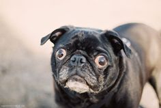 Makes you wonder what this pug's seeing, doesn't it?