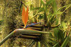 #Birds of Paradise #photograph