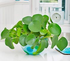 Bauchnabelpflanze - Glückstaler