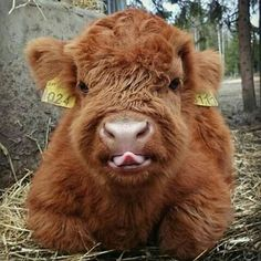 If You Ever Feel Sad, These Highland Cattle Calves Will Make You Smile When thinking about adorable furballs we might imagine a kitty, but not a cow. Yet, these furry Highland calves are just as huggable as puppies or kittens. Cute Baby Cow, Baby Cows, Cute Cows, Cute Babies, Cute Baby Smile, Fluffy Cows, Fluffy Animals, Animals And Pets, Farm Animals