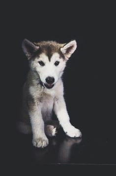 husky / malamute puppy