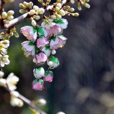 Jablůňka+-+náušnice+z+PET+lahví+Velice+pracné+a+bohatě+poskládáné+květy+jablůňky.+Z+PET+lahví+jsou+vyrobené+i+pestíky.+Náušnice+jsou+lehoučké+a+na+denním+světle+ještě+víc+ožívají,+vypadají+jako+z+porcelánu.+:)+Délka+9+cm+od+zavěšení.+(Na+přání+vyměním+háček+za+háček+nealergenní+-+nerezová+ocel)+Autorský,+originální,+100%+ČESKÝ+výrobek.+Používám... Plastic Bottles, Ale, Elegant, Plants, Beautiful, Jewelry, Design, Pet Plastic Bottles, Classy