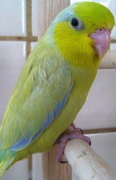 Parrotlet Breeders | Parrotlets & Breeding Pairs
