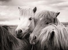 Two icelandic horses in Iceland, friendly, happy and peaceful animals. Warm sepia toned photography. Available as poster, framed fine art print or canvas print with 30 days money back guarantee. Click here or on the pic to check your options: http://matthias-hauser.pixels.com/featured/two-icelandic-horses-sepia-photo-matthias-hauser.html  Matthias Hauser hauserfoto.com - Art for your Home Decor and Interior Design needs