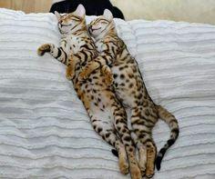 So darn cute -- Savannah Cats cuddling up