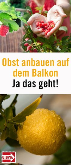 To grow fruit on balcony and terrace: 10 fruits that succeed- Obst anbauen auf Balkon und Terrasse: 10 Früchte, die gelingen Fruit on the balcony: These 10 fruits also thrive in the … - Growing Plants, Growing Vegetables, Balcony Garden, Garden Pots, Balcony Ideas, Decoration Plante, Diy Garden Decor, Garden Ideas, Backyard Ideas