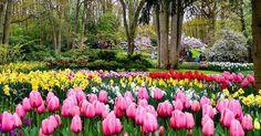 #keukenhof #tulips #amsterdam by boomervoice.ca