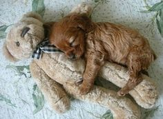 doggy curled up with a teddy bear