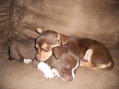 Six week old chihuahua brother and sister...LOVE them!!