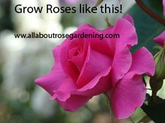 You'll find some Homemade Organic Fertilizer,to grow the best roses ever!~ Organic Fertilizer Recipes for Roses