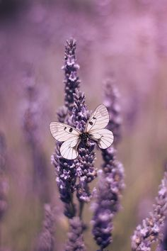 Butterfly on Lavender, Ethiriel Photography