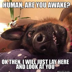 33 German Shepherd Memes That Will Make You Laugh Every Time - Funny Dog Quotes - 33 German Shepherd Memes That Will Make You Laugh Every Time German Shepherd Shop Funny Animal Jokes, Funny Dog Memes, Cute Memes, Really Funny Memes, Funny Animal Humor, Clean Animal Memes, Dog Funnies, Funny Friday Memes, Dog Humor