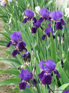 Iris pictures | Planting Iris in Dreaded Heat Purple Bearded Iris Plant – Bulb ...