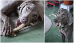 Deer horns are better for dogs than traditional bones and last ALOT longer!