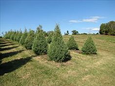 Growing a new tradition Gilmer family adds Christmas trees to their Falcon Ridge Farm lineup