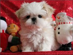 Phoenix Shih Tzu- looks like a stuffed toy. Cute.