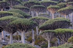 """Island of Socotra"" by Light and Nature Socotra, Dragon Blood Tree, Dragon Tree, Dracaena Cinnabari, Tree Story, Jungle Tree, Unique Trees, Deciduous Trees, Tree Forest"