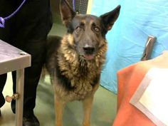 CALIFORNIA!!! GUNTHER - ID#A628097 (available 7/3)  I am a male, black and tan German Shepherd Dog.  The shelter staff think I am about 3 years old.... See More — with Jennifer Prothmann, Kasia Parker, Mary V Diana and 18 others at Devore Shelter at 19777 Shelter Way, Devore, CA 92407 in San Bernardino County, CA  https://www.facebook.com/118795328205474/photos/a.407457879339216.97606.118795328205474/848550741896592/?type=1&theater