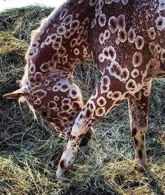 Caballos Appaloosa, Appaloosa Horses, Most Beautiful Horses, All The Pretty Horses, Rare Horses, Wild Horses, Unusual Animals, Rare Animals, Beautiful Creatures