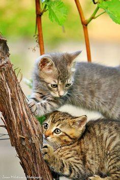 Top 5 most beautiful cat breeds European Short Hair