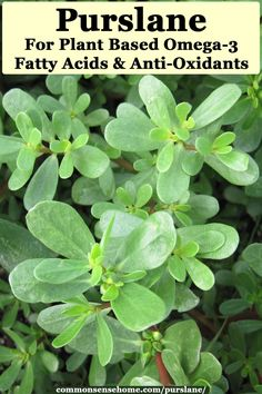 Purslane has many health benefits, and is tolerant of drought and poor soils. Try an easy recipe, and learn about its health benefits. Planting Raised Garden Beds, Herb Garden, Garden Plants, Garden Hoe, Raised Gardens, Dream Garden, Purslane Benefits, Permaculture, Purslane Plant